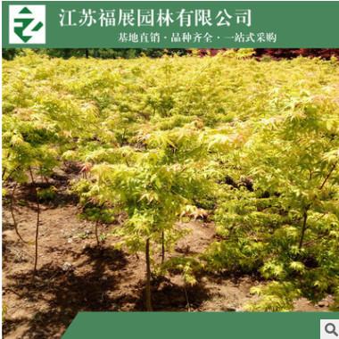 黄金枫 黄金枫树苗 基地直销 园林绿化苗木