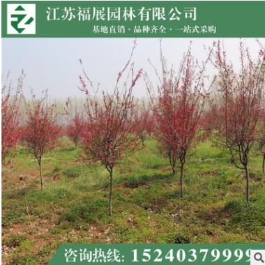 垂丝海棠 花灌木 园林绿化苗木 基地直销