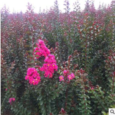 供应四川成都产优质美国红叶紫薇苗 园艺品种红叶紫薇苗