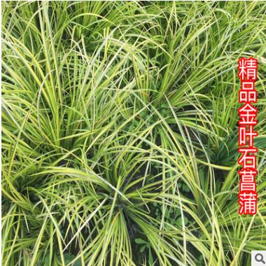 供应金边菖蒲 金叶花叶石菖蒲苗 水生植物 挺水植物 湿地水体绿化