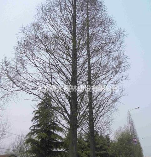 水杉绿化苗木苗圃基地