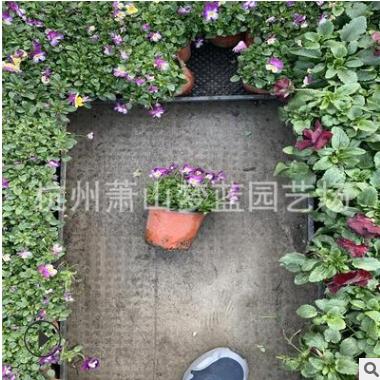 角堇 精品 优质苗 根系旺 成活率高 品种 规格 齐全 庭院 花镜
