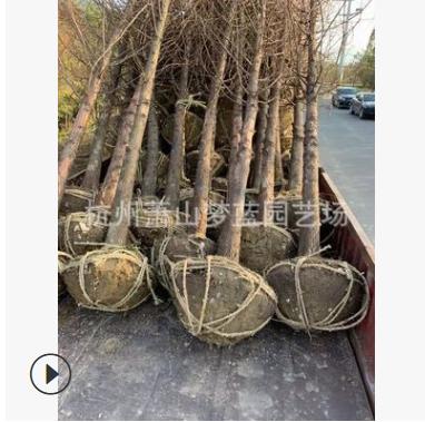 水杉 土球好 冠幅好 优质 精品苗 萧山 园林 绿化 苗木