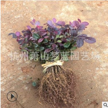 红花继木 千插苗 床苗 根系 发达 苗壮 成活率 高 品种 规格 齐全