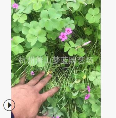 红花醡浆草 紫叶 高度1-20公分 优质苗 成活 高 园林 绿化 苗圃