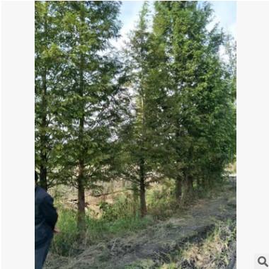 大量出售水杉