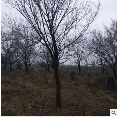 庭院植物三角枫树苗 三角槭五角枫枫香苗 彩叶枫青枫绿化工程苗