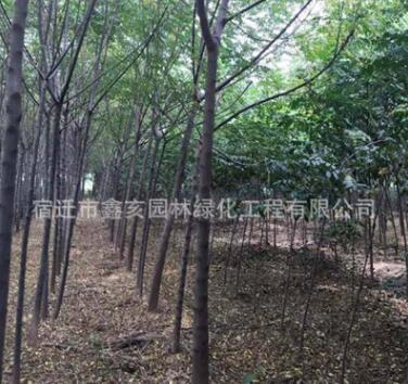 低价供应绿化工程苦楝树苗 行道树 绿化乔木 优质苦楝批发