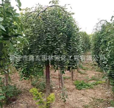 龙爪槐树苗批发 工程绿化苗木 庭荫树 规格齐全量大优惠