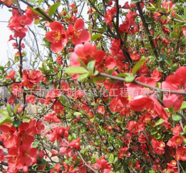 基地批发贴梗海棠小 丛生贴梗海棠树 开花灌木 铁杆海棠工程