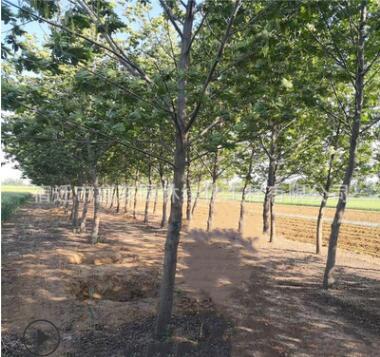 批发枫杨树苗 园林景观绿化苗木行道点缀观赏耐水枫杨苗