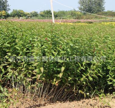 供应红王子锦带 苗木 护地绿化 工程绿化 各种规格齐全