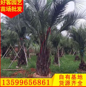 布迪椰子报价 福建基地直销 规格齐全 园林绿化工程供应