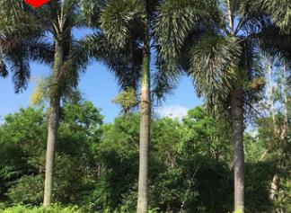狐尾椰子基地直销 杆1-6米 地苗 袋苗 移植苗供应