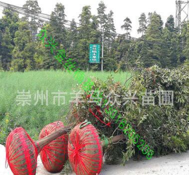 金丝楠 紫楠批发 从20厘米小苗到10多米高大树 自产直销价优