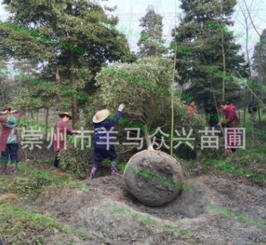 专业批发金丝楠树苗 从20厘米小苗到10多米高大树 包手续上车