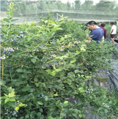 蓝莓树量大优惠价格合理 易成活易管理蓝莓树 丰产稳产蓝莓树