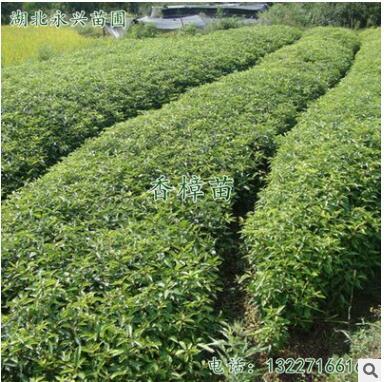苗圃基地直供小叶香樟树苗量大从优 香樟小苗批发常青驱蚊树小苗