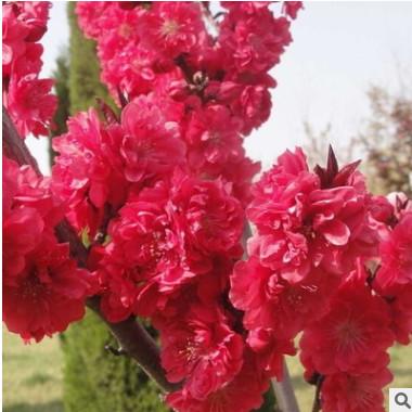 基地直销红叶碧桃树苗 庭院观赏 观花植物 量大优惠