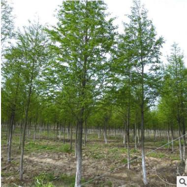 批发水杉树苗 水杉小苗 庭院绿化 绿化乔木
