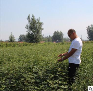 优质花椒树苗批发色泽好高产价低九叶青花椒苗根系发达无刺花椒苗