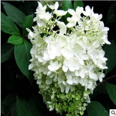 苗圃直销 木绣球树苗 庭院花卉植物 盆栽绣球花 八仙花