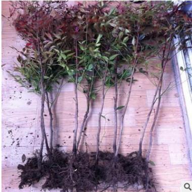 批发优质南天竹小苗 易成活南天竺 常绿灌丛 量大优惠