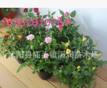 批发月季花 微型月季 小型盆栽月季绿化苗木 园林植物