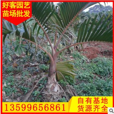 酒瓶椰子批发 绿化景观工程供应 风景树 大量供应