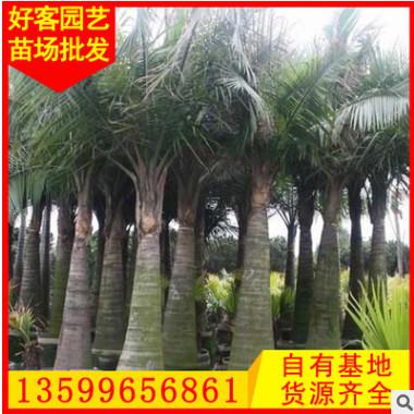 国王椰子批发 漳州基地 绿化景观工程供应