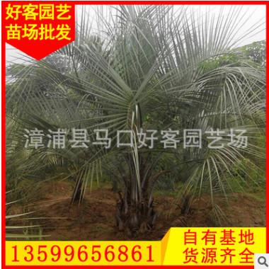 布迪椰子价格 规格齐全 福建漳州种植基地 厂家直销