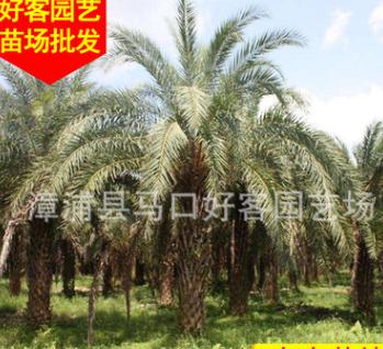 中东海枣移植苗 风景树 绿化苗木 多规格供应