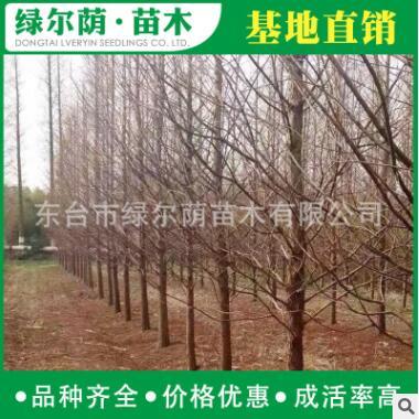 批发水杉树 规格全 货源足 水杉树价格 行道树