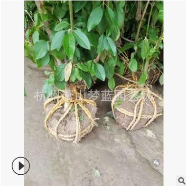 木绣球 木本绣球 庭院 花境 绿化 工程 用苗 萧山直销
