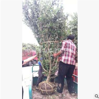 木绣球 木本绣球 绿化园林