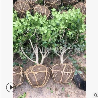无齿枸骨球  土球好 冠幅好 精品球 园林 绿化苗