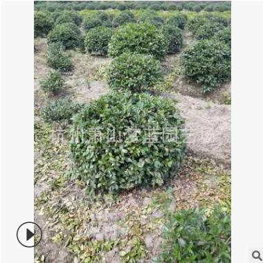 茶梅球  品种 规格 齐全 土球好 冠幅好 园林 绿化苗