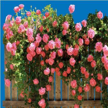 蔷薇花苗多花爬藤花卉四季绿植盆栽庭院阳台攀援多花小花蔷薇树苗