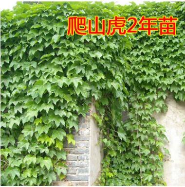爬山虎 爬山虎苗 五叶地锦 爬墙高手 遮阳降温 2年苗 藤本植物