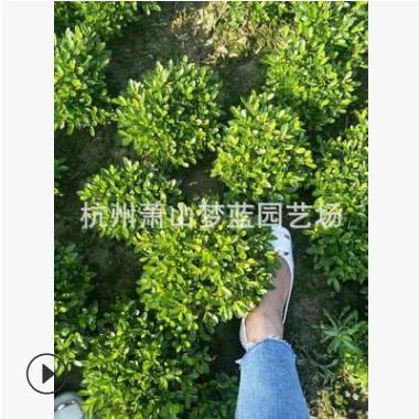 矮婆鹃 紫鹃 园林 绿化 道路 工程 用苗 萧山 苗圃 量多 成活高