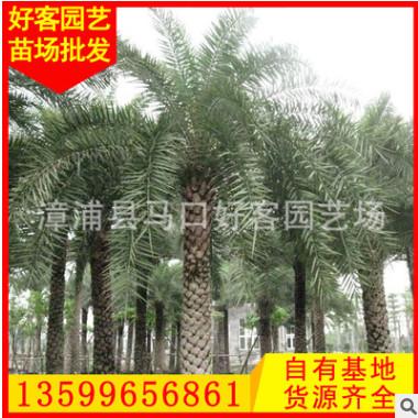 霸王棕批发 漳州种植基地 园林绿化工程苗木 场地直销h200-500cm