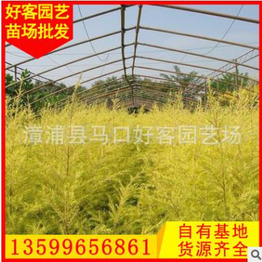 黄金宝树价格 黄金香柳 千层金 多规格供应 量大从优