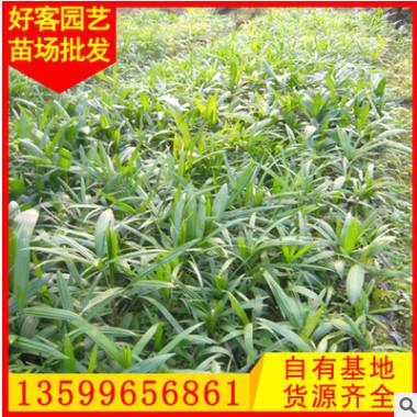 棕竹 观音竹批发 规格齐全 量大从优 四季常青