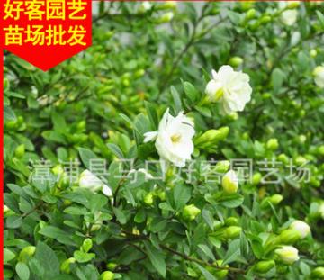 栀子价格 栀子花盆栽地栽 园林景观工程供应