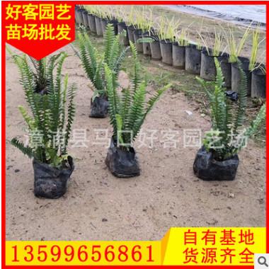 肾蕨 排骨草 高20-30 价格1元 福建漳州基地直销