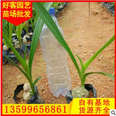 文殊兰 高25-35 价格0.95元 漳州基地直销