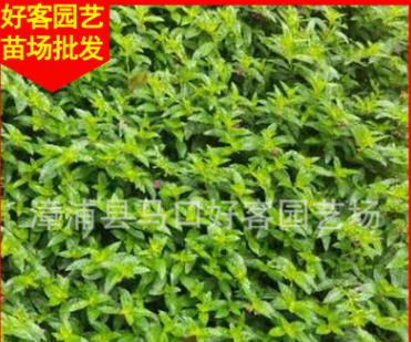满天星袋苗杯苗 漳州基地直销 园林绿化苗木供应