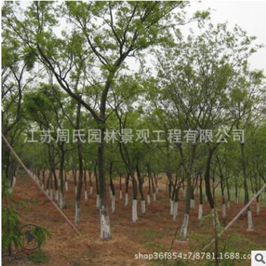 基地直销工程绿化树木 榉树小树规格齐全 园林道路绿化用树