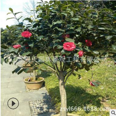 供应工程绿化耐冬茶花树 庭院园林可盆栽耐冬茶花 规格全