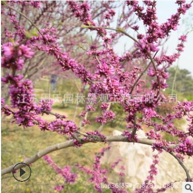 批发紫荆树 庭院工程绿化树木 独杆紫荆 巨紫荆 品种全量大优惠